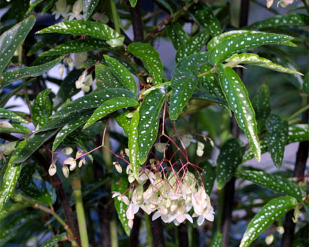 Les begonias... Je n'y arrive pas!!! Begonia-albo-picta