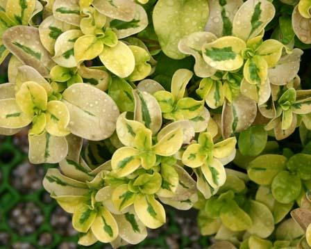 color - clasificacion de plantas por color predominante Coprosma-repens