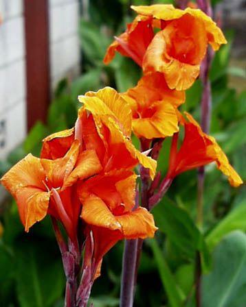 カンナ (植物)の画像 p1_21