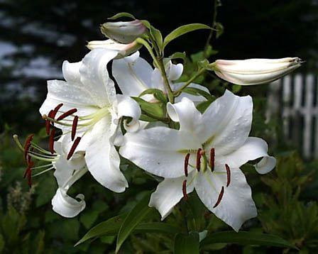 丹波篠山玉水ゆり園・あじさい園の百合(ユリ)の花