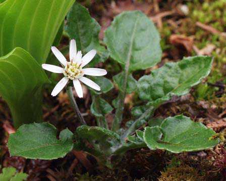 Une plante rare Senbon-yari